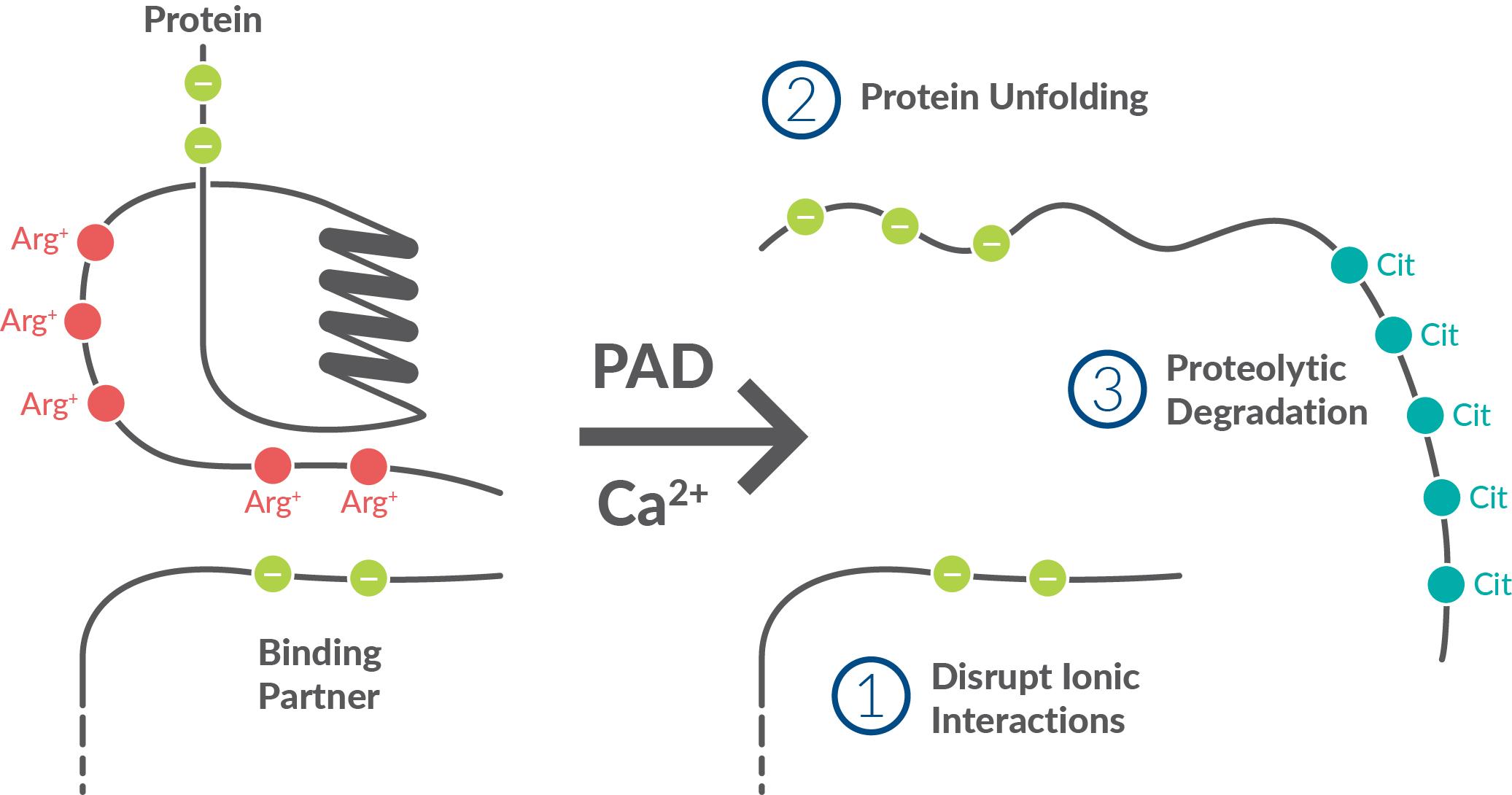 post translational modification through citrullination