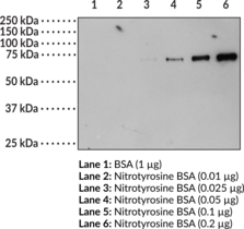 Nitrotyrosine BSA | Cayman Chemical